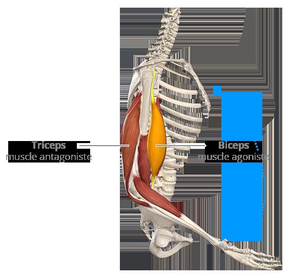 Flexion du coude : contraction concentrique du biceps