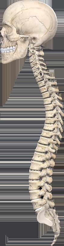 Crâne et courbes naturelles de la colonne vertébrale
